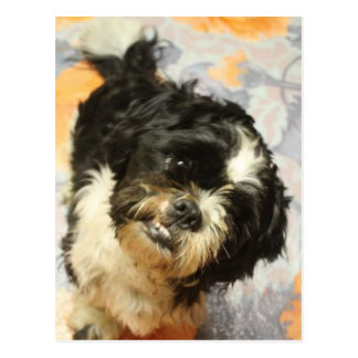 FB_IMG_1481505521015 Shitzu dog Postcard