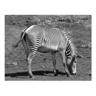 """Feeding Zebra"" Postcard"
