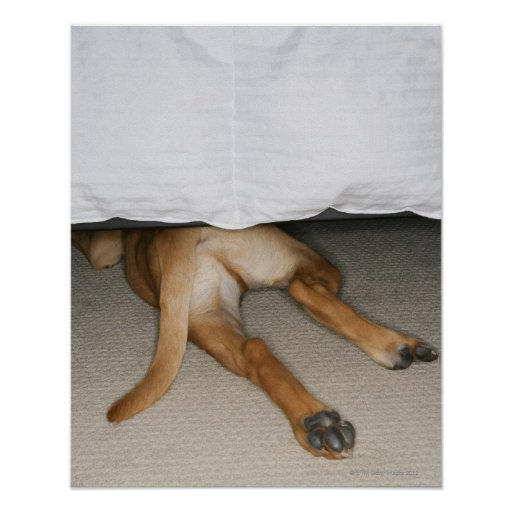 Feet and tail of yellow lab dog hidden under bed poster