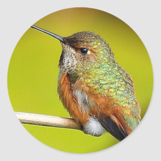 Feisty Little Girl: Rufous Hummingbird Classic Round Sticker