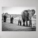 Female African elephant and three calves, Kenya. Poster