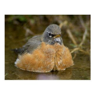Female American Robin bathing, Yellowstone NP, Postcard