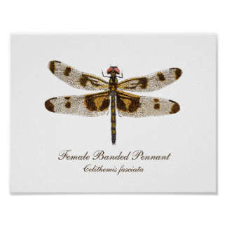Female Banded Pennant Dragonfly art Poster