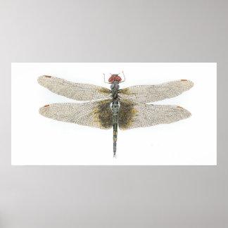 Female Black Saddlebags Dragonfly Poster