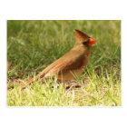 Female Cardinal Postcard
