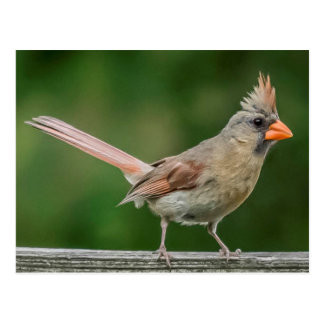 Female Cardinal Postcard