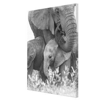 Female Elephant Re-Assuring Two Calves (Samburu) Canvas Print