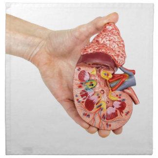 Female hand holds model of human kidney napkin
