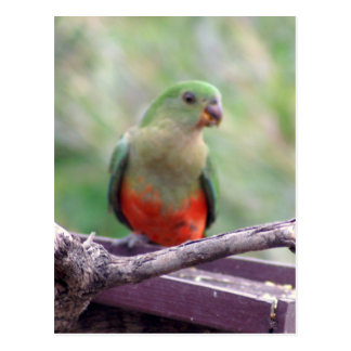 Female king parrot postcard