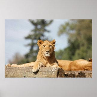 Female Lion Poster