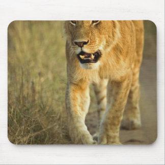 Female Lion walking at sunset, Masai Mara, Mouse Pad