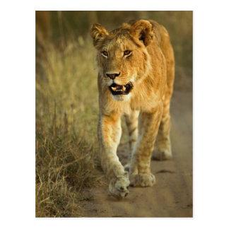 Female Lion walking at sunset, Masai Mara, Postcard
