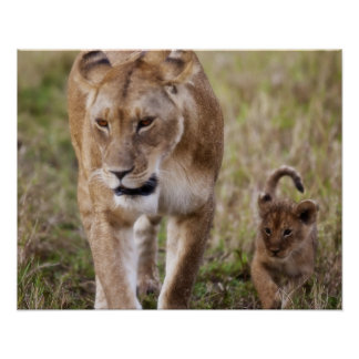 Female Lion with cub (Panthera Leo) as seen in Poster