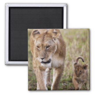 Female Lion with cub (Panthera Leo) as seen in Square Magnet