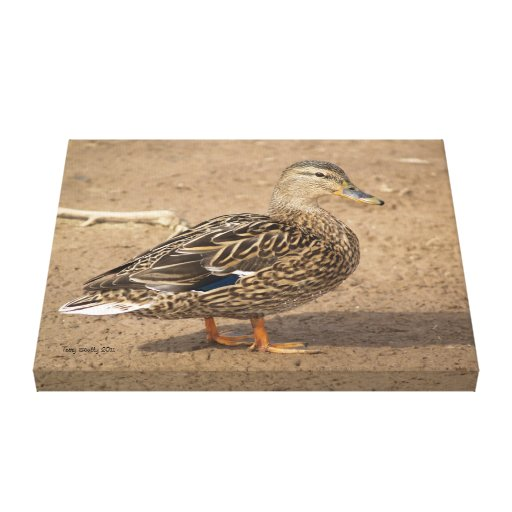 Female Mallard Duck Closeup Photo Canvas Print
