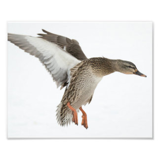 Female Mallard Duck Landing in the Snow 2 Photo Print