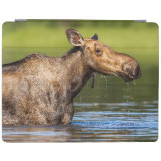Female Moose Feeding In Small Lake iPad Cover