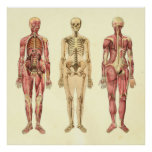 Female Muscle & Skeleton Anatomy Poster