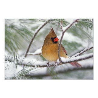 Female Northern Cardinal in snowy pine tree, Art Photo