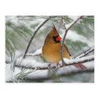 Female Northern Cardinal in snowy pine tree, Postcard