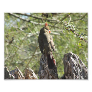 Female Northern Cardinal Photo Print