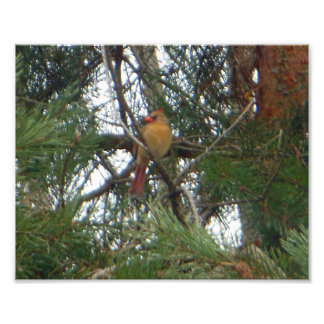 Female Northern Cardinal Pine Photo Print