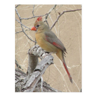 Female Northern Cardinal Postcard