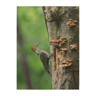 Female Pileated Woodpecker at nest hole Wood Prints