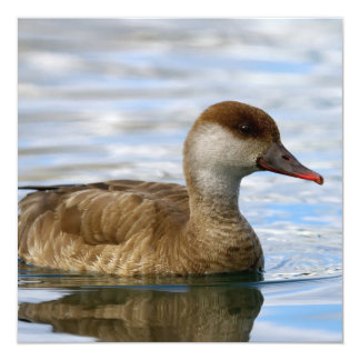 Female pochard duck, netta rufina card