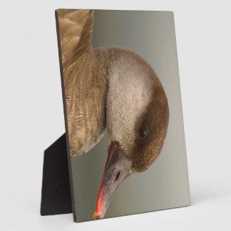 Female pochard duck, netta rufina, portrait plaque