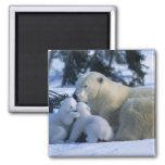 Female Polar Bear Lying Down with 2 Cubs