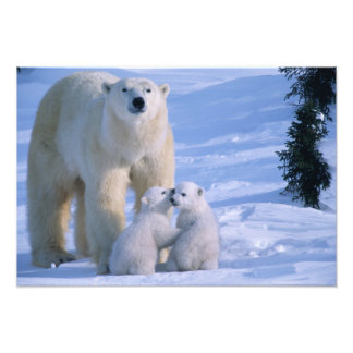 Female Polar Bear Standing with 2 Cubs at her Photograph