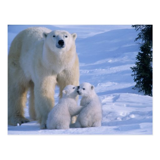 Female Polar Bear Standing with 2 Cubs at her Postcard