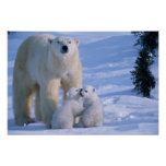 Female Polar Bear Standing with 2 Cubs at her Poster