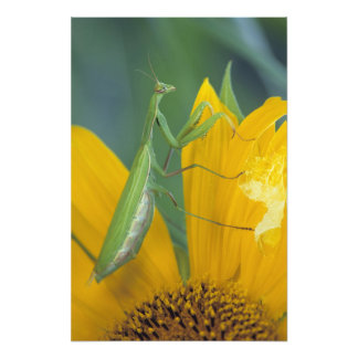 Female praying mantis with egg sac on photo print