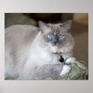 Female Ragdoll Cat Poster