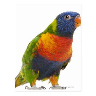 Female Rainbow Lorikeet - Trichoglossus Postcard