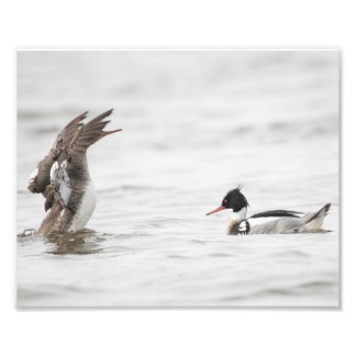 Female Red-breasted Merganser Attention Print