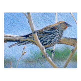 Female Redwing Blackbird Postcard