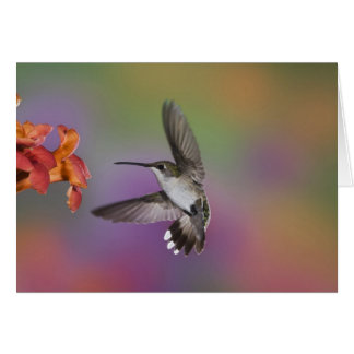 Female Ruby Throated Hummingbird in flight, 2 Card