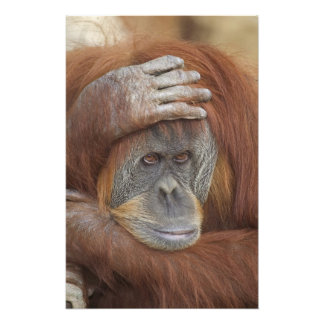 Female Sumatran Orangutan, Pongo pygmaeus Photo Print