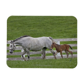 Female thoroughbred and young foal rectangular photo magnet