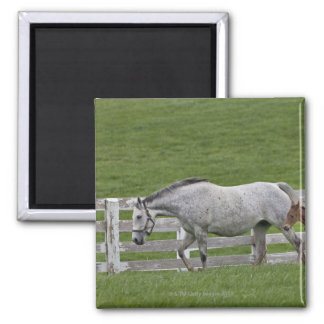 Female thoroughbred and young foal square magnet
