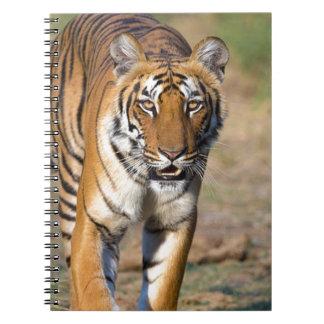 Female Tigress Stalking Prey Spiral Note Books