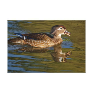 Female Wood Duck Calling Canvas Print
