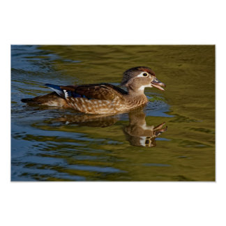 Female Wood Duck Calling Poster