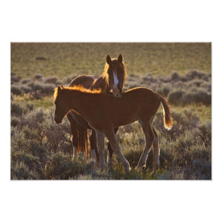 Feral Horse Equus caballus) adult and colt in Photographic Print
