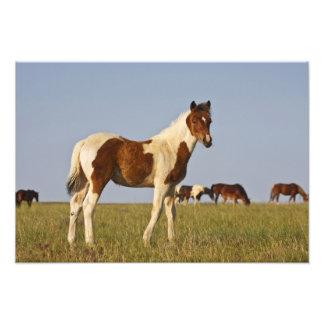 Feral Horse Equus caballus) colt with herd in Photo