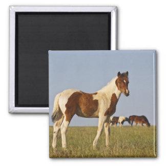 Feral Horse Equus caballus) colt with herd in Square Magnet