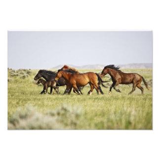 Feral Horse Equus caballus) herd of wild Photograph